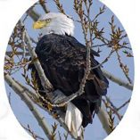 Oval Vertical Bald Eagle