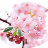 Oval Horizontal Cherry Blossom