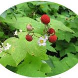 Oval Horizontal Thimble Berries