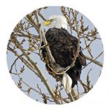 Round Bald Eagle