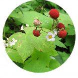 Round Thimble Berries