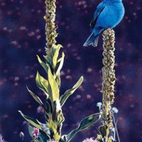 Indigo Giclee Print on Wrapped Canvas by Artist Russell Cobane