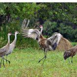 Horizontal Sandhill Cranes Photo Cutting Board