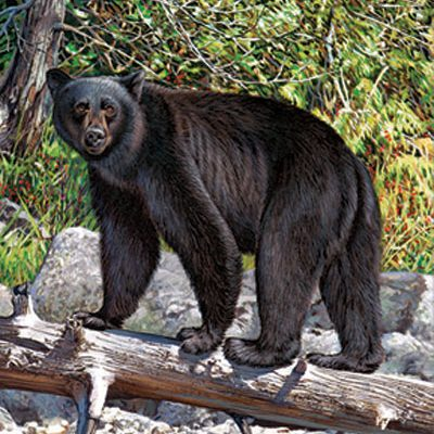 Black Bear Giclee Print on Wrapped Canvas by Artist Russell Cobane