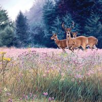 Late Summer Whitetail Giclee Print on Wrapped Canvas by Artist Russell Cobane